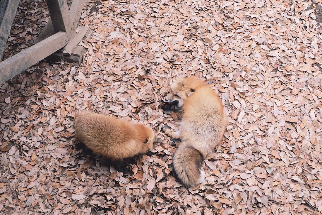 miyagi-zao-fox-village-rainbowholic-65