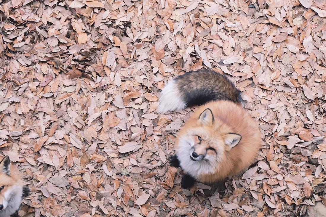 miyagi-zao-fox-village-rainbowholic-66