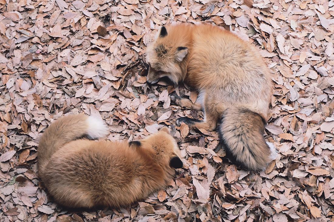 miyagi-zao-fox-village-rainbowholic-68