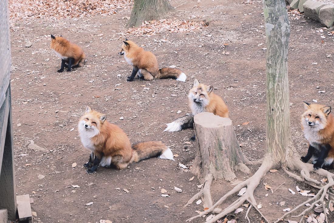 miyagi-zao-fox-village-rainbowholic-69