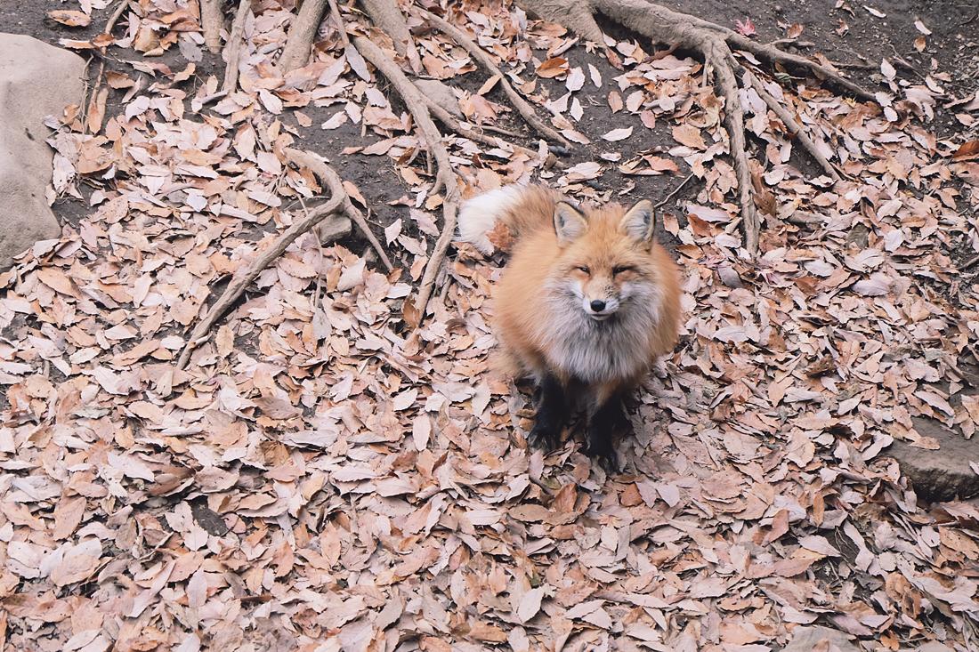 miyagi-zao-fox-village-rainbowholic-70