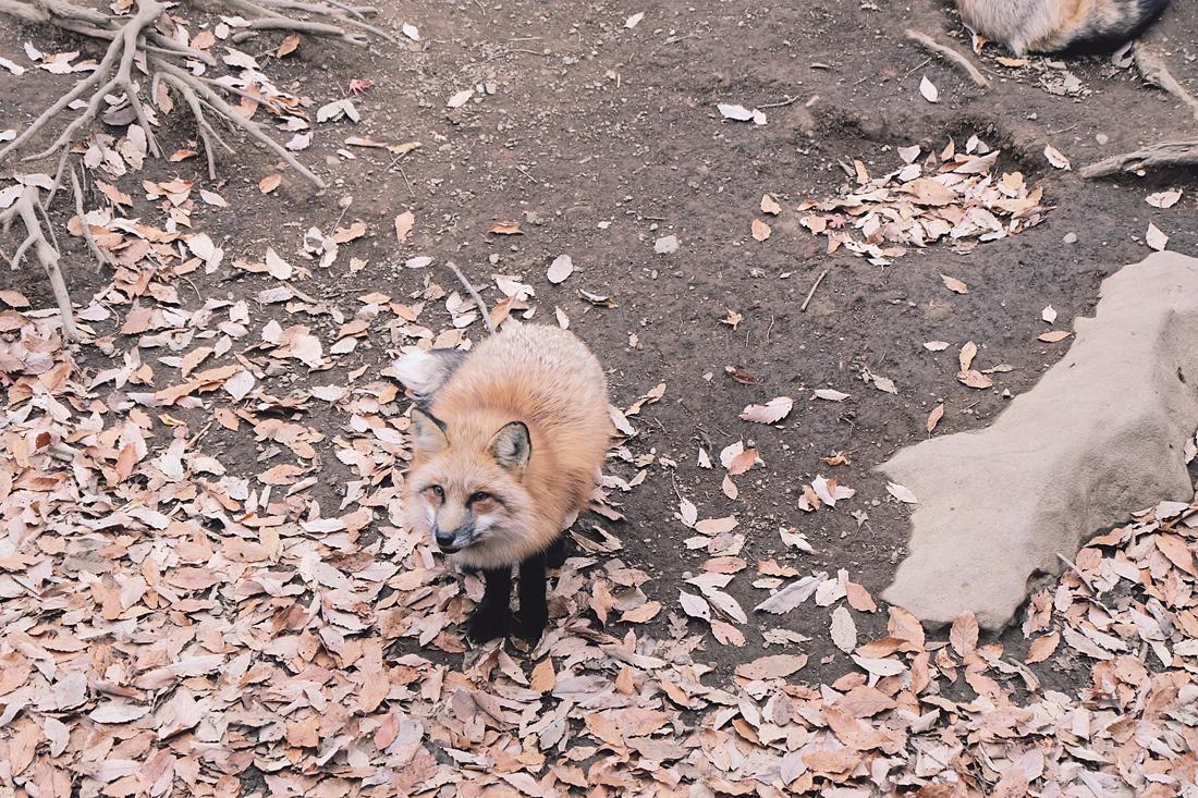 miyagi-zao-fox-village-rainbowholic-71