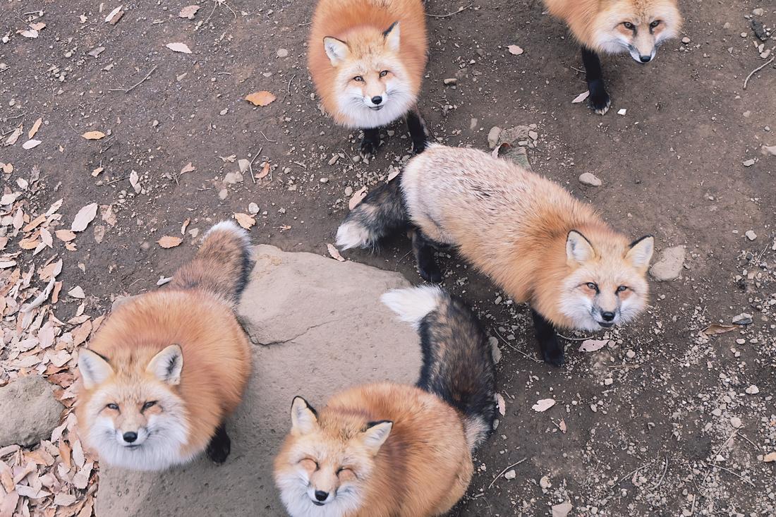 miyagi-zao-fox-village-rainbowholic-72