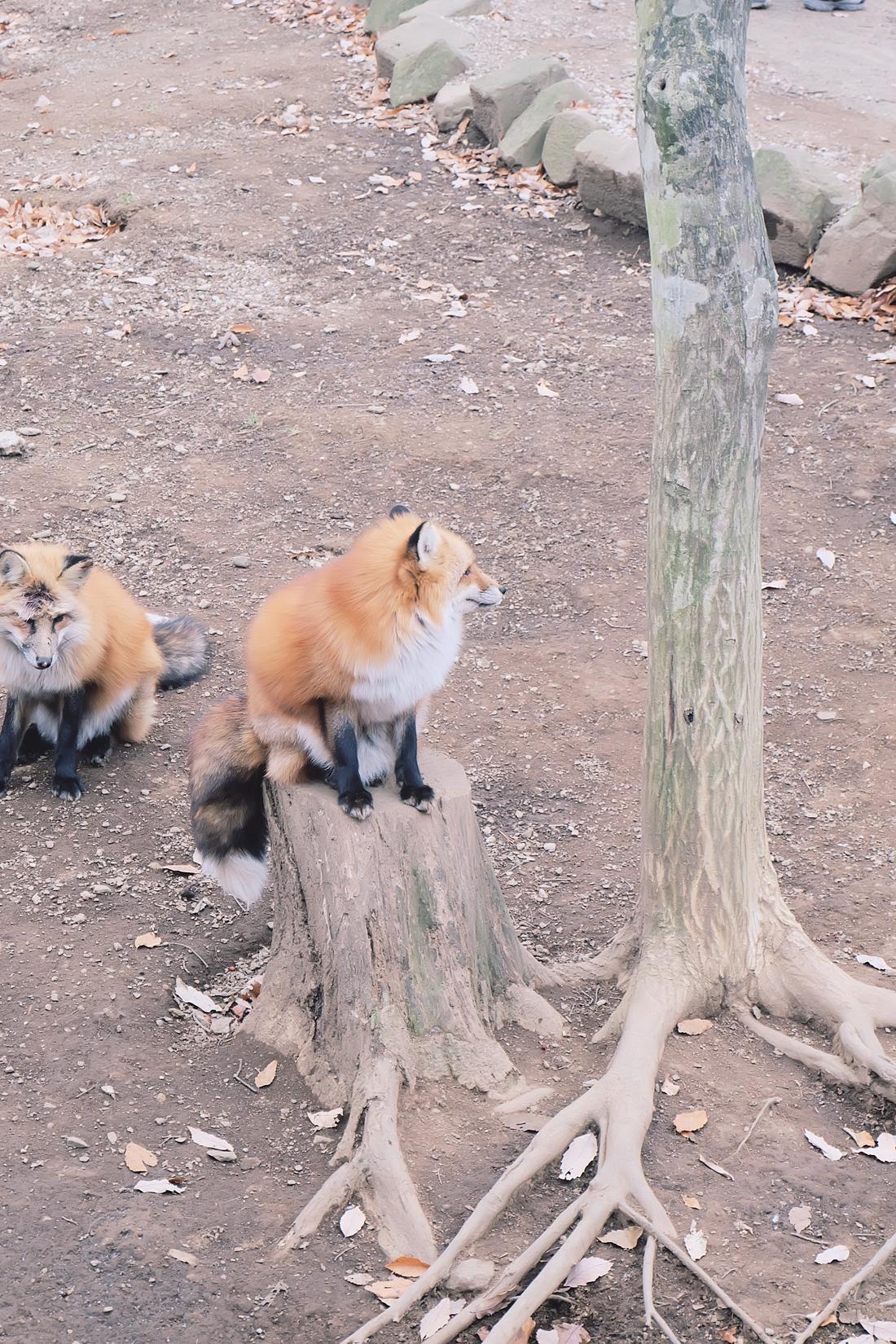 miyagi-zao-fox-village-rainbowholic-77