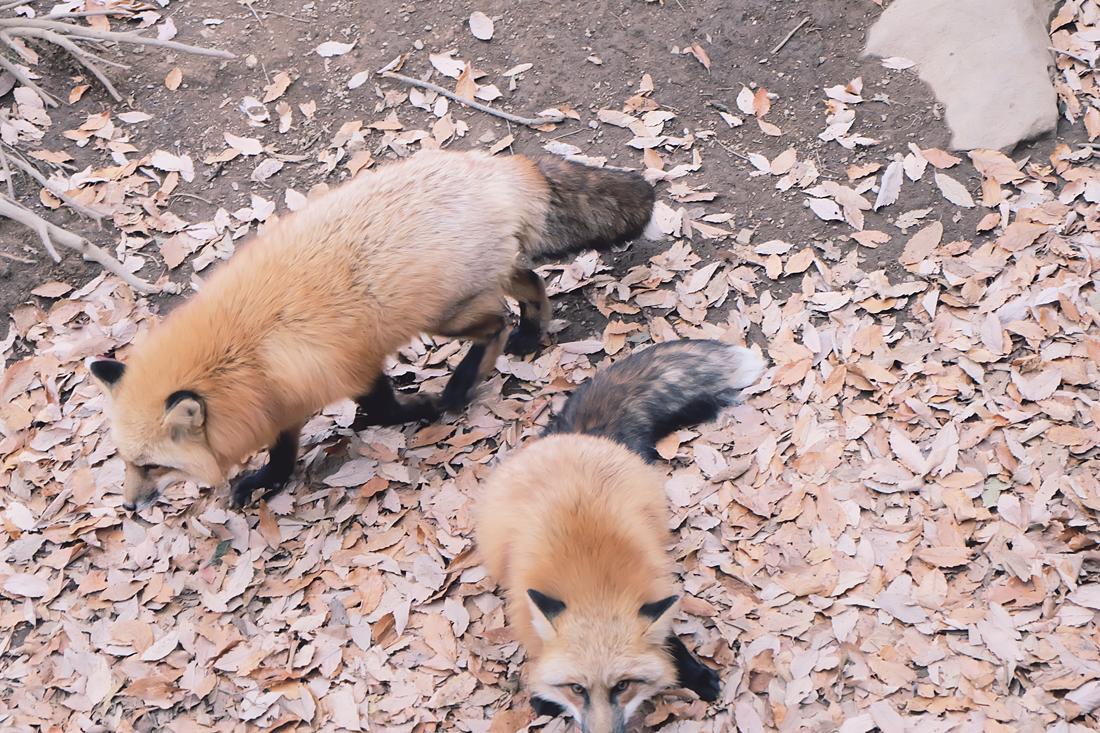 miyagi-zao-fox-village-rainbowholic-78