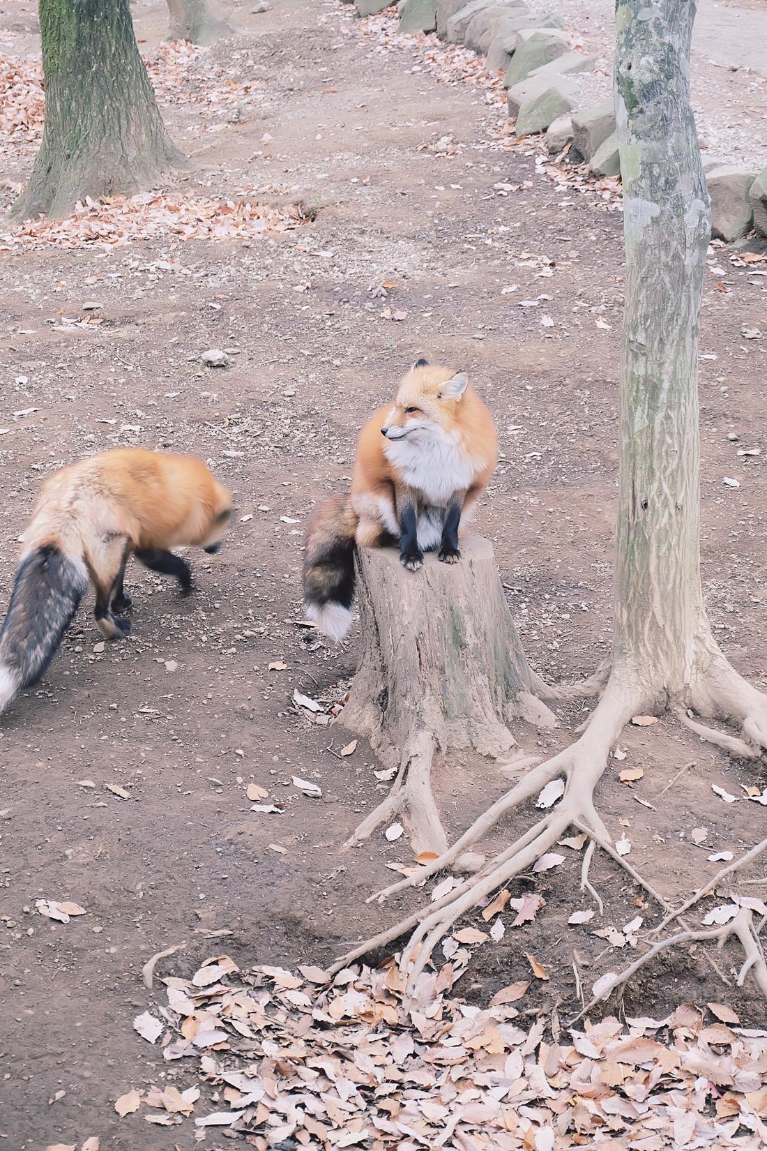 miyagi-zao-fox-village-rainbowholic-79