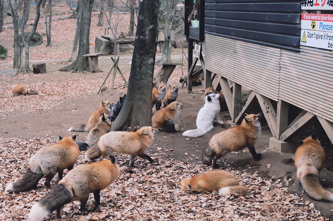 miyagi-zao-fox-village-rainbowholic-80